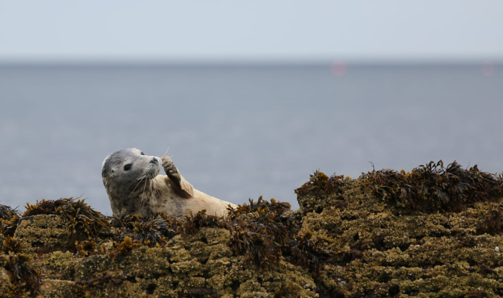 Photograph of an Orkney seal