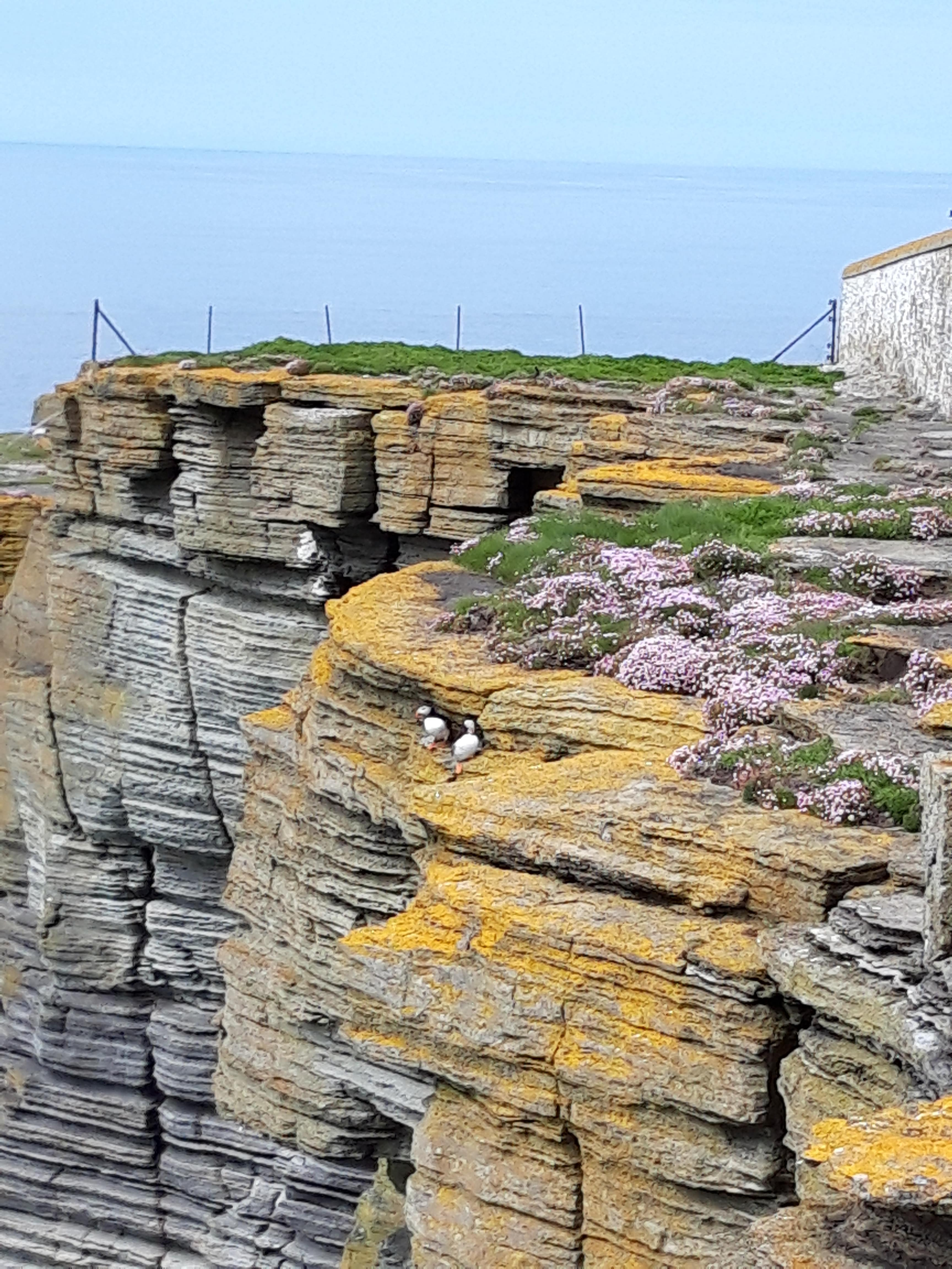 Photo of Orkney puffins